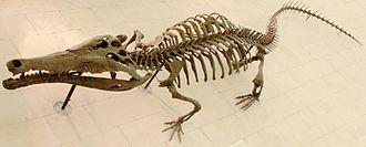 Toyotamaphimeia - Toyotamaphimeia machikanense skeleton