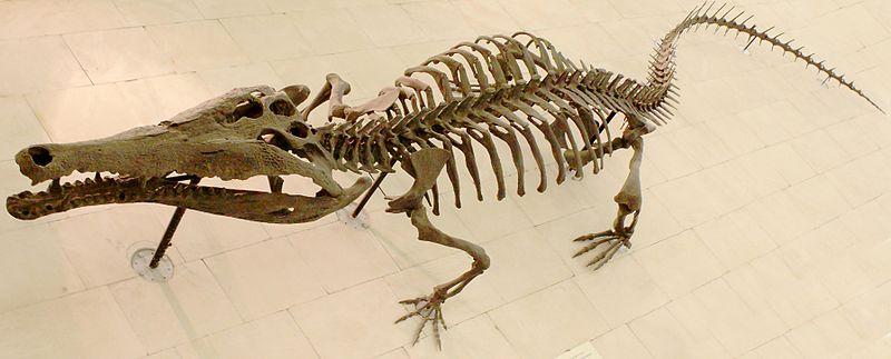 File:Crocodile skeleton.jpg