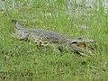 Crocodylus niloticus ssp. cowiei.jpg