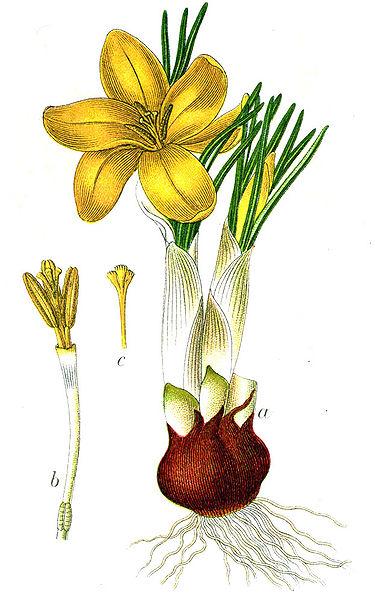 Crocus aureus