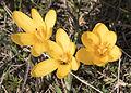 Crocus chrysanthus - Sarı çiğdem 05.jpg