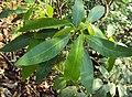 Croton persimilis.jpg