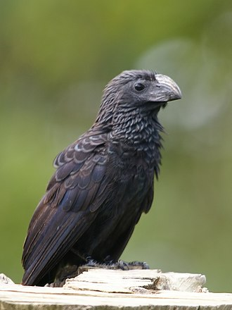 Spectral bat - A groove-billed ani, a primary food source