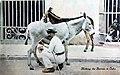 Cuba - Miilking burros.jpg