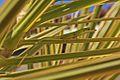 Cuban Green Anole (Anolis porcatus) (8591590603).jpg