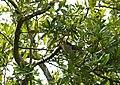 Cuckoo yb01.jpg