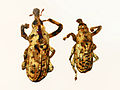 Curculionidae - Gasterocercus anatinus.JPG