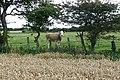 Curious calf - geograph.org.uk - 1520215.jpg