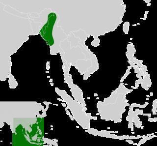 Myanmar brown leaf turtle species of reptile