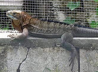 Jamaican iguana - Cyclura collei