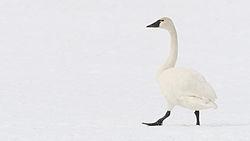 小天鵝,天鵝中較小型的一種