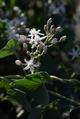Cynanchum-acutum-JW.png
