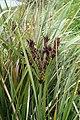 Cyperus ustulatus kz03.jpg