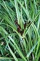 Cyperus ustulatus kz05.jpg