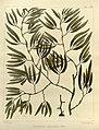Cystophora xiphocarpa.jpg