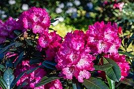 Dülmen, Welte, Rhododendronwald -- 2020 -- 6904.jpg