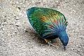 DSC09857 - Nicobar Pigeon (36386478754).jpg