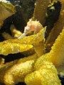 DSC28094, Zebrasnout Seahorse, Monterey Bay Aquarium, Monterey, California, USA (4751253326).jpg