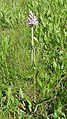 Dactylorhiza fuchsii 48.jpg