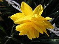 Daffodil at Stonham Barns - geograph.org.uk - 1834416.jpg
