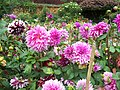 Dahlias in the flower garden - panoramio (2533).jpg
