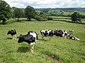Dairy cattle, near Livenhayes Farm - geograph.org.uk - 1417351.jpg