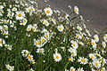 Daisies along Yarmouth Tennyson Road 2.JPG