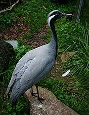 Damoiselle Crane in Toronto Zoo.jpg