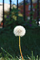 Dandelion full seed.jpg