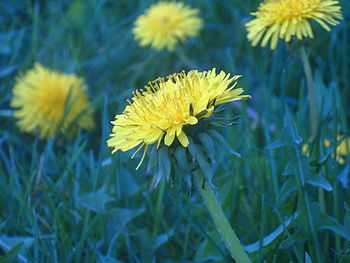 Some dandelions found in my backyard.