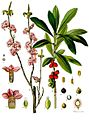 Daphne mezereum - Köhler–s Medizinal-Pflanzen-050.jpg