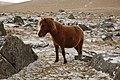 Dartmoor pony - panoramio.jpg