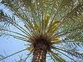 Date Palm - ഈന്തപ്പന 11.JPG