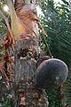 Date Palm Sap Collection - Taki - North 24 Parganas 2015-01-13 4732.JPG