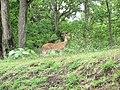 Deer parambikkulam.jpg