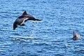 Delfine (Namibia 2018).jpg