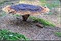 Dennevoetzwam - Velvet-top fungus (10075291056).jpg