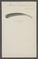 Dentalium elephantinum - - Print - Iconographia Zoologica - Special Collections University of Amsterdam - UBAINV0274 081 09 0004.tif