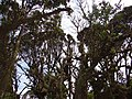 Detail of Mossy Forest - Near Brinchang - Cameron Highlands - Malaysia (35566404945).jpg