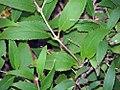 Deutzia gracilis Nikko 1zz.jpg