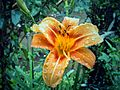 Dew drops- flower.jpg