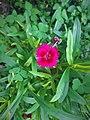 Dianthus barbatus (0).jpg