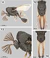 Dicoelothorax platycerus male.jpg