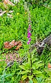 Digitalis purpurea at the Mt Alexander Route 03.jpg