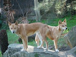 Dingos at Taronga Zoo.jpg