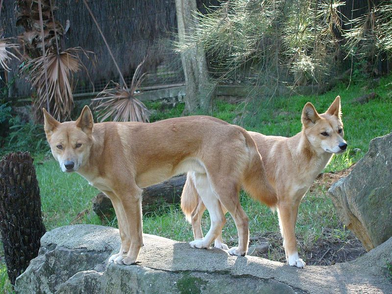 Файл:Dingos at Taronga Zoo.jpg