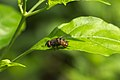 Diptera at Kadavoor.jpg