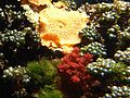 Discosoma nummiforme - Kew 2.jpg