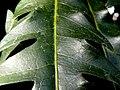 Dizygotheca elegantissima (5).jpg