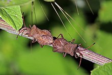 Dock bugs (Coreus marginatus) mating.jpg